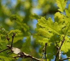 green-oak-beam