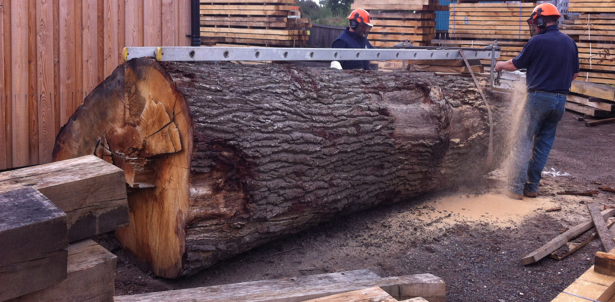 Cutting big oak