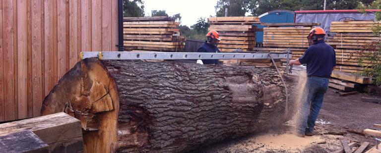 Cutting big oak
