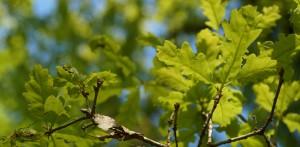 Oak Beams