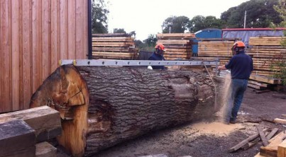 cutting-big-oak